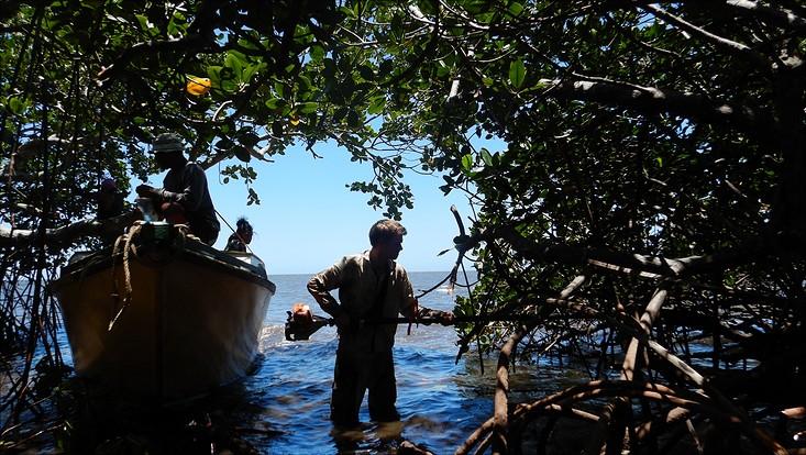 Mangroven fidschi 733x414